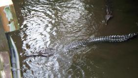 Large male Ts - Singapore Zoo