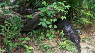 Male Ts - Singapore Zoo