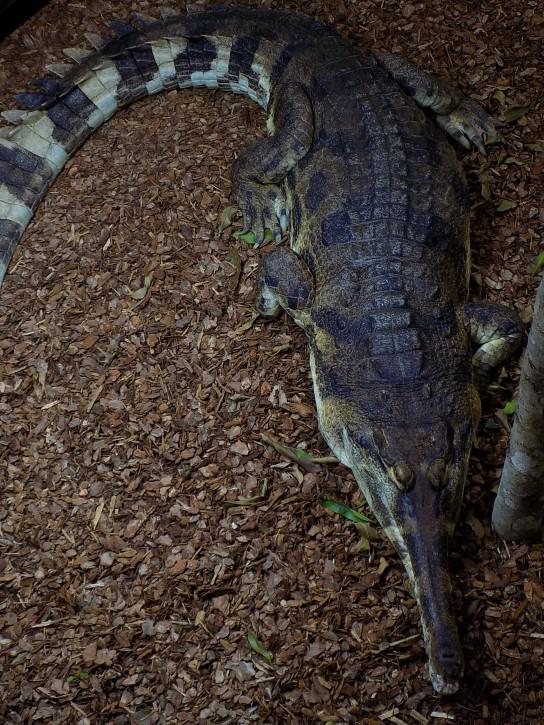 Male Ts - Crocodiles of the World