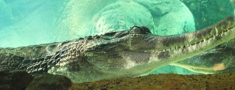 Male Tomistoma - Chip Harshaw
